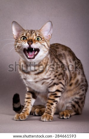 Bengal cat meows and hisses - stock photo
