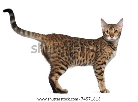 Bengal cat, 7 months old, standing in front of white background - stock photo