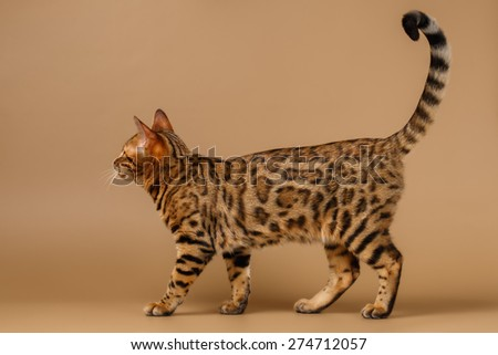 Bengal Cat Walks at Profile view on Brown Background - stock photo