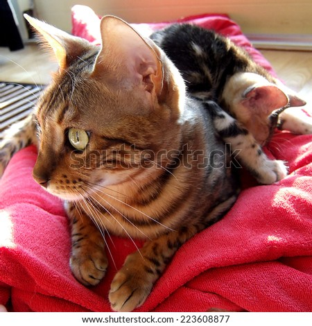Bengal cat with kitten asleep on her back on red carpet taken at home - stock photo