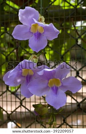 Bengal clockvine (Thunbergia Grandiflora) flowers closeup. Dehiwala Zoo, Colombo, Sri Lanka. - stock photo