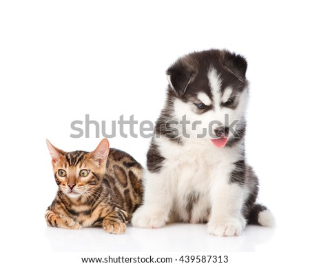 Bengal kitten and Siberian Husky puppy together. isolated on white background - stock photo