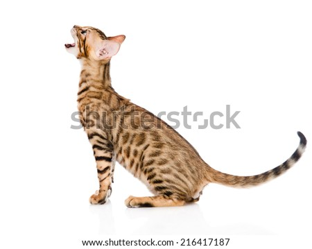 Bengal kitten in profile meowing. isolated on white background - stock photo