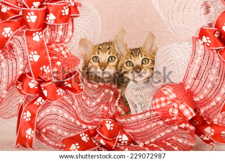 Bengal kitten inside red and white wreath with paw print ribbon on light pink background  - stock photo