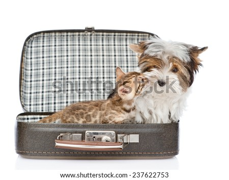 bengal kitten kissing Biewer-Yorkshire terrier in open bag. isolated on white background - stock photo