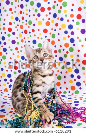 Bengal kitten playing with Mardi Gras beads on rainbow polka dotted background - stock photo