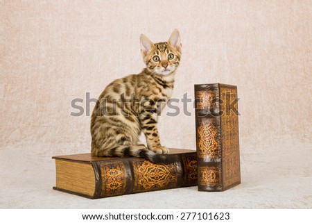 Bengal kitten sitting on large leather bound leather books on beige background  - stock photo