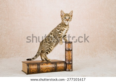 Bengal kitten standing on large leather bound leather books on beige background  - stock photo