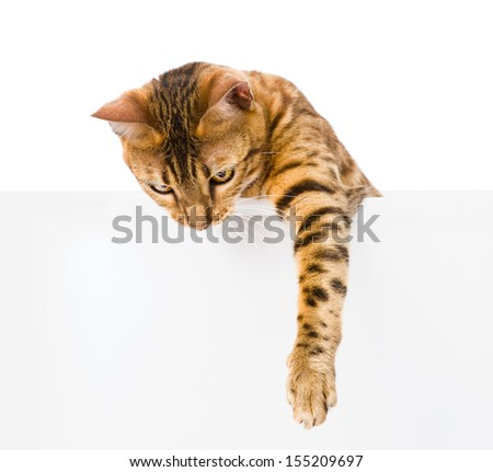 bengal kitten with empty board. isolated on white background - stock photo