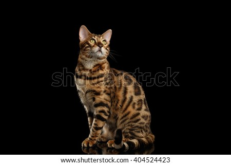 Bengal Male Cat Sitting on Black Isolated Background and Looking up with Interest, Side view - stock photo