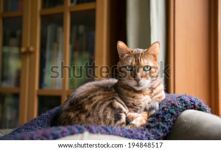 Bengal Mix Cat Relaxing on Indigo Blanket by Large Window - stock photo