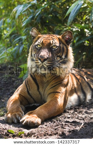 Bengal- or Asian tiger in morning sun with background of bamboo bushes - stock photo