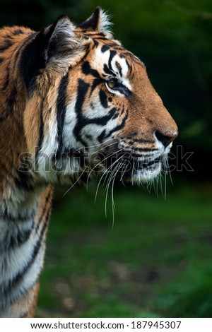 Bengal Tiger close up against a dark green background of foliage/Bengal Tiger/Bengal Tiger - stock photo