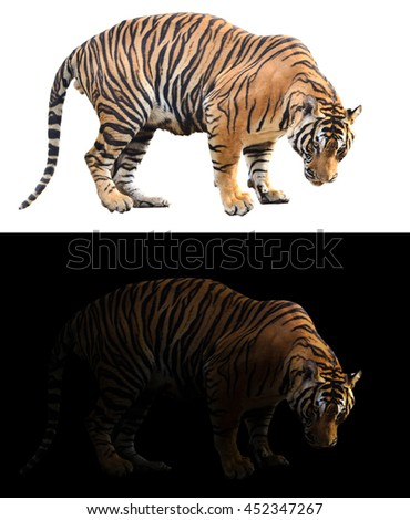 bengal tiger in the dark and bengal tiger on white background - stock photo