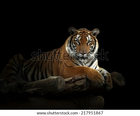 bengal tiger in the dark night - stock photo