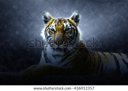 Bengal tiger in the rains. - stock photo