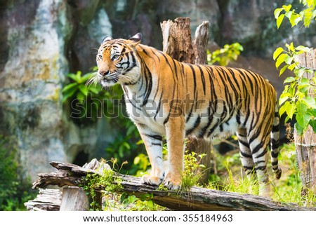 Bengal Tiger in the Zoo - stock photo