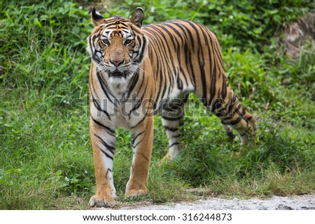 Bengal Tiger in zoo - stock photo