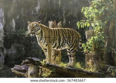 Bengal Tiger India - stock photo