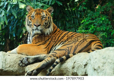 Bengal Tiger lay on rock - stock photo