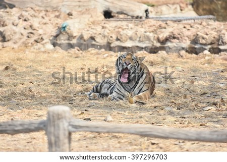 Bengal Tiger or Asian tiger in the zoo - stock photo