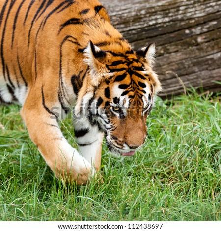 Bengal Tiger Searching for Something in Grass Panthera Tigris - stock photo