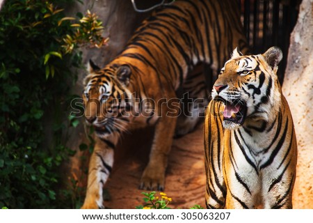 Bengal tiger standing in the zoo - stock photo