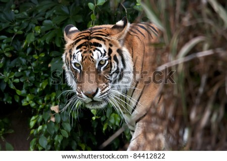 Bengal tiger with vegetation, logs and rocks - stock photo