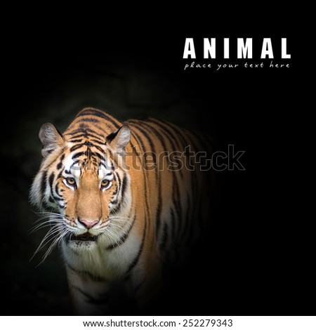 Bengal tigers are looking victim - stock photo