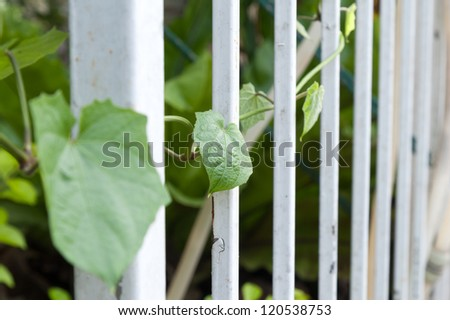 Bengal Trumpet on fence with shallow DOF - stock photo
