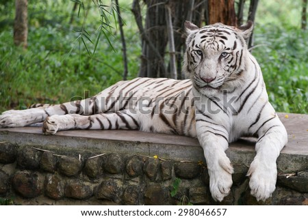 Bengal White Tiger lying down with green eyes staring in a national park in Karnataka India. Adventure safari trip through dense forest path with wild animals. Copy space - stock photo