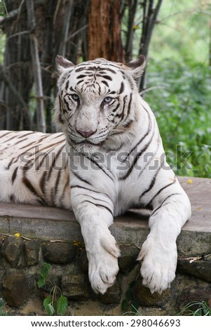 Bengal white Tiger lying down with green eyes staring in a national park in Karnataka India. Adventure safari trip through dense forest path with wild animals. Vertical shot tiger photo - stock photo