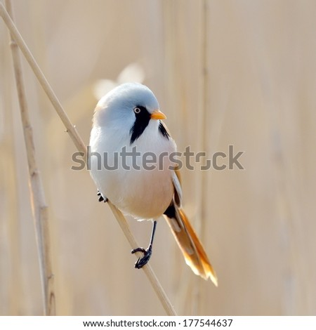 beraded tit - reedling - in natural habitat (panurus biarmicus) - stock photo