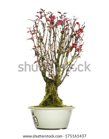 Berberis bonsai tree, isolated on white - stock photo
