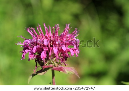 Bergamot flower - stock photo
