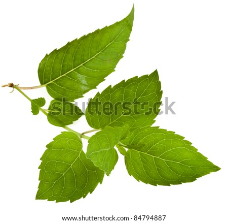 Bergamot fresh mint herb leaves  ( Monarda didyma ) close up macro shot isolated on white background - stock photo