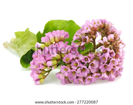 Bergenia flowers on a white background - stock photo