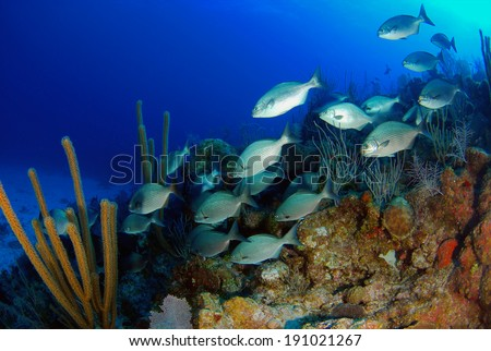 Bermuda Chubb swimming over the Coral Reef, Grand Cayman - stock photo