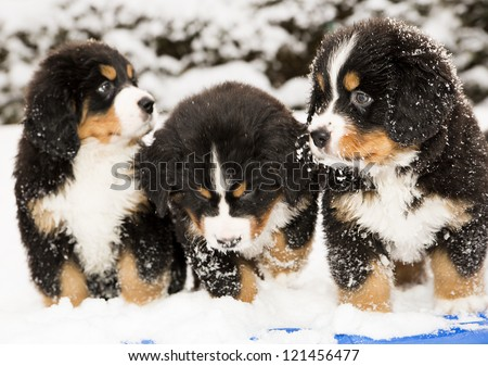 Bernese dog puppest are halfly snowy and wet - stock photo