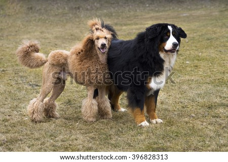 Bernese mountain dog and standard red poodle standing together  - stock photo