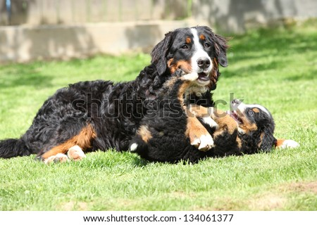 Bernese Mountain Dog bitch playing with puppy in the garden - stock photo