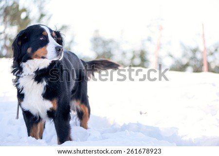 Bernese Mountain Dog in the snow looking away. Focus on the eye, shallow depth of field, blow out highlights in the background. - stock photo