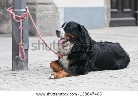 Bernese mountain dog lying on the street fastened on a street lamp waiting patiently for his owner - stock photo