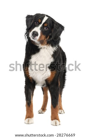 Bernese mountain dog (14 months old) in front of a white background - stock photo