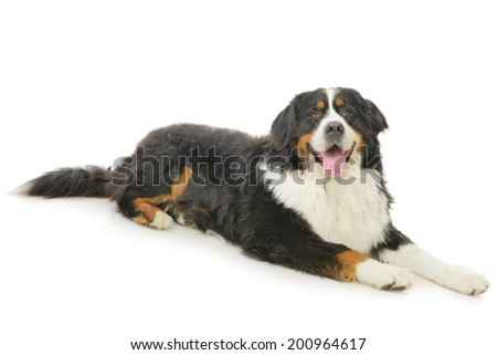Bernese Mountain Dog on a white background - stock photo