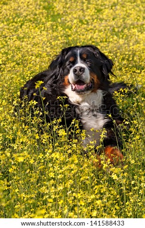 Bernese Mountain Dog portrait in flowers scenery - Vertical - stock photo