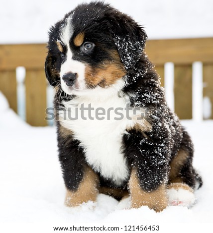 Bernese mountain dog puppet looking curiously after movement - stock photo