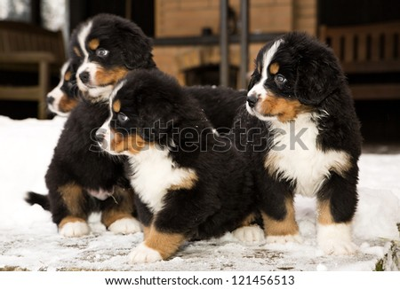 Bernese mountain dog puppets ready to join game - stock photo