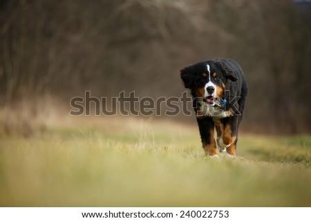 Bernese mountain dog running through the autumn meadow  - stock photo