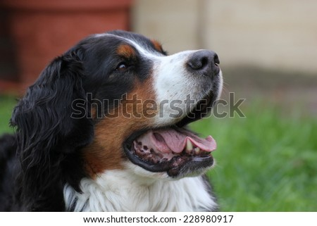 Bernese mountain dog sitting on grass and looking expectantly. - stock photo